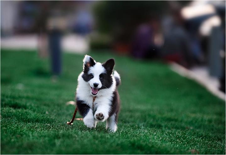 阿拉斯加犬性格_边境牧羊犬性格_边境犬好喂养吗?